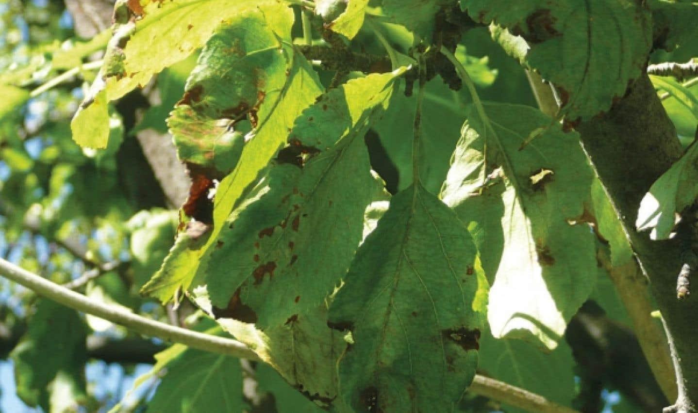 Une Annus horribilis pour les arbres sensibles à la tavelure: les arbres grandement affectés connaissent une chute de feuilles prématurée et abondante.