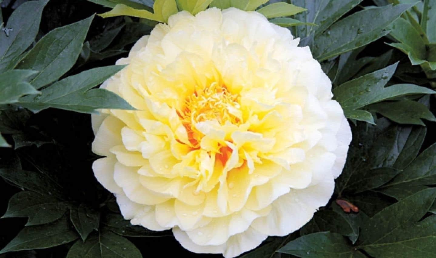 Une pivoine Itoh, l'excellent cultivar Bartzella à fleur double jaune brillant.
