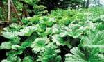 Le Darmera peltata a de grandes feuilles décoratives de forme arrondie. Il aime un sol humide à saturé et la mi-ombre. C'est une excellente plante pour le bord de l'eau.