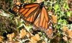 De novembre à fin mars, une forêt de sapins du Michoacán sert de posada à des millions de papillons monarques. Photo: Carolyne Parent