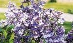 Le lilas Syringa x «Little Boy Blue» est une plante de plein soleil qui nécessite un sol plus ou moins riche, meuble, légèrement alcalin, frais et bien drainé. Photo: Bertrand Dumont