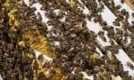 De nombreux écologistes ont pointé du doigt les néonicotinoïdes et leurs effets potentiels sur la population d'abeilles au Canada.