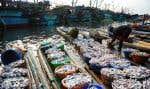 Un pêcheur recueille les prises d'un bateau, dans un port de Chennai, en Inde.