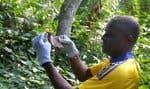 Les équipes du CIRMF s'intéressent notamment de très près aux chauve-souris, «réservoir potentiel du virus Ebola».