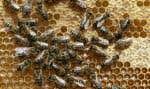 La disparition des insectes pollinisateurs inquiète particulièrement les scientifiques.