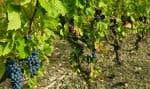 De vieux grenaches cultivés en biodynamie, ici dans le Languedoc