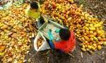 Des travailleurs agricoles taillant des cabosses de cacaoyer dans une ferme d'Itajuípe, le 13 décembre 2019