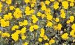 La Mecardonia «Gold Dust» produit une abondante floraison qui illuminera les agencements de mai à octobre.