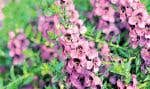 Les fleurs de l'Angelonia angustifolia «Carita Raspberry» ressemblent aux orchidées. Cette plante fleurit tout l'été, tolère bien la sécheresse et aime le soleil.