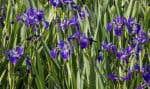 Parmi les innovations phytotechnologiques qui ont été intégrées au projet : des radeaux et des îlots flottants. Ces matelas faits de matière végétale, qui sont eux aussi couverts de plantes indigènes, notamment des iris versicolores, ont pour fonctions principales de créer de l'ombre sur l'étang et de filtrer l'eau.