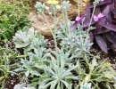 Le Senecio kleiniiformis est une plante au singulier feuillage bleu grisâtre en forme de fer de lance.
