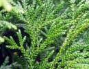 Thujopsis dolobrata, ou thuya du Japon, est cultivé depuis de nombreuses années dans une zone protégée. Il aurait atteint sa taille mature à environ 2 mètres de haut par plusieurs mètres de large.