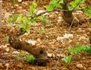 Pinot noir en mai, épargné des gels printaniers à Nuits-Saint-Georges, en Bourgogne